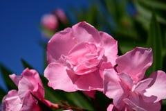 Rosa blüht Nahaufnahme Bush mit grünen Blättern Sonniger Tag, blauer Himmel stockbilder