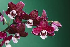 Rosa blüht Orchidee Stockfoto