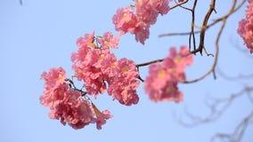 Rosa blüht Tabebuia-rosea Blüte stock video