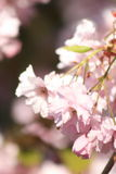 Rosa Blüte Lizenzfreies Stockbild