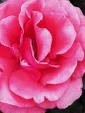 Rosa Blüte Lizenzfreies Stockfoto