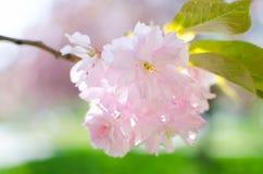 Rosa Blüte Stockfotos