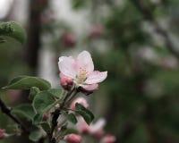 Rosa Blüte auf Apfelbaum stockbild