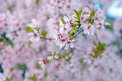 Rosa Blüte in Japan Lizenzfreie Stockbilder