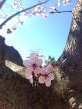 Rosa Blüten Stockfoto