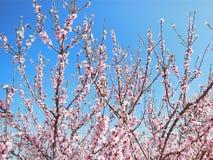 Rosa Blüten auf Bäumen Stockfotografie