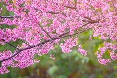 Rosa Blüten auf der Niederlassung mit blauem Himmel während des Frühlingsblühens Lizenzfreies Stockfoto