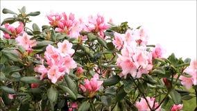 Rosa Blüten, Rhododendron im Frühjahr stock footage