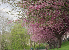 Rosa Blütenbäume zeichnen einen Weg Stockbild