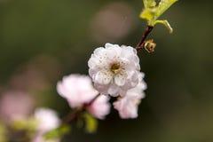 Rosa Blütenbaum Stockbild