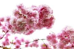 Rosa Blütenbaum Stockfotos