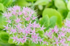 Rosa Blütenstand Stockfotos