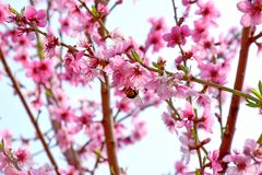 Rosa Bl?ten-Bl?te auf Frucht-Pfirsich-Baum-Blumenportr?t lizenzfreie stockbilder