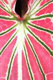 Rosa blad Royaltyfria Bilder