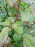 Rosa blad med regndroppar Fotografering för Bildbyråer