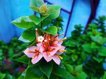Rosa bladblommor med gröna sidor royaltyfri foto