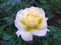 Rosa blanco-amarilla de Blossming en el jardín fotografía de archivo