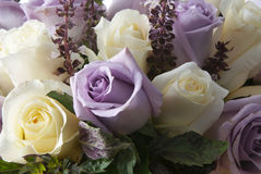Rosa blanco y púrpura Foto de archivo