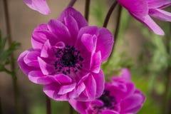 Rosa blandade botaniska trädgårdar Balchik, Bulgarien för Anemone Coronaria `-St Briged Arkivbilder