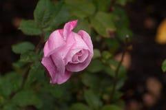 Rosa blandros som blommar i nedgången Arkivfoto