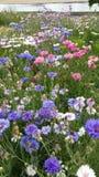 Rosa, blaue und weiße Kornblume Lizenzfreies Stockfoto