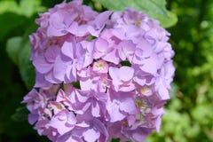 Rosa, blaues, lila, violettes, purpurrotes Hortensieblume Hortensie macrophylla, das im Frühjahr blühen und Sommer in einem Garte stockfotografie
