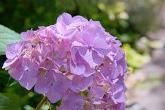 Rosa, blaues, lila, violettes, purpurrotes Hortensieblume Hortensie macrophylla, das im Frühjahr blühen und Sommer in einem Garte lizenzfreie stockfotografie