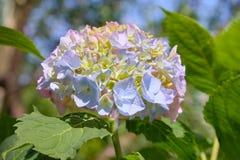 Rosa, blaues, lila, violettes, purpurrotes Hortensieblume Hortensie macrophylla, das im Frühjahr blühen und Sommer in einem Garte lizenzfreies stockfoto