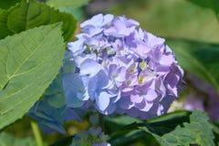 Rosa, blaues, lila, violettes, purpurrotes Hortensieblume Hortensie macrophylla, das im Frühjahr blühen und Sommer in einem Garte stockfotos