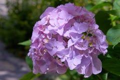 Rosa, blaues, lila, violettes, purpurrotes Hortensieblume Hortensie macrophylla, das im Frühjahr blühen und Sommer in einem Garte lizenzfreies stockbild