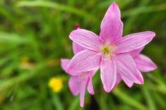 Rosa blom- bakgrund Royaltyfri Fotografi