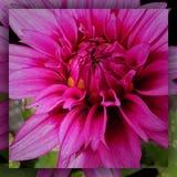 Rosa blom- bristning arkivfoton
