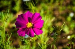 Rosa blom- skönhet av naturbakgrund Royaltyfria Foton