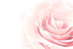 Rosa blomma Arkivfoton