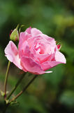 Rosa blomma Royaltyfri Foto