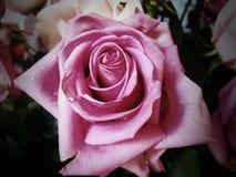 Rosa blomma Royaltyfri Bild