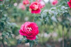 Rosa blomma Royaltyfria Foton