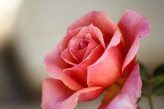 Rosa blomma av Beautifulness Royaltyfri Bild