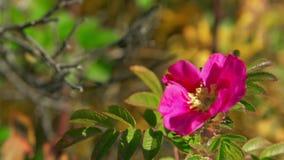 Rosa blomma av den lösa rosen som svänger i vinden Härliga rosa färgblommakronblad lager videofilmer