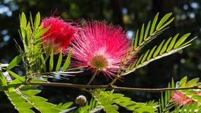 Rosa blomma av det siden- trädet i Indien i morgonljus Royaltyfri Foto