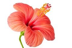 Rosa blomma av hibiskusen Arkivfoto