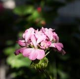 Rosa blomma av pelargon Royaltyfria Foton