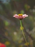 Rosa blomma av zinniaen Royaltyfri Fotografi