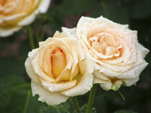 Rosa blomma Blommor Arkivbilder