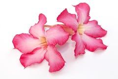 Isolerad rosa blomma för öken Royaltyfri Foto