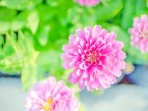 Rosa blomma för blomning för bästa sikt för zinniablommor i den härliga bakgrunden för natur royaltyfri foto