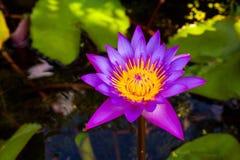 Rosa blomma för Closeup waterlily eller lotusblomma Royaltyfri Bild
