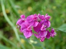 Rosa blomma för evig ärta Arkivfoto