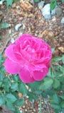 Rosa blomma för härlig naturlig rosa färg av Sri Lanka royaltyfria foton