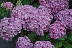 rosa blomma för hortensia (vanlig hortensia) Fotografering för Bildbyråer